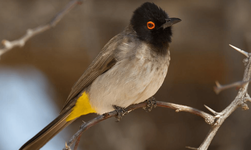 Birds of South Africa - Africa Red-eyed Bulbul