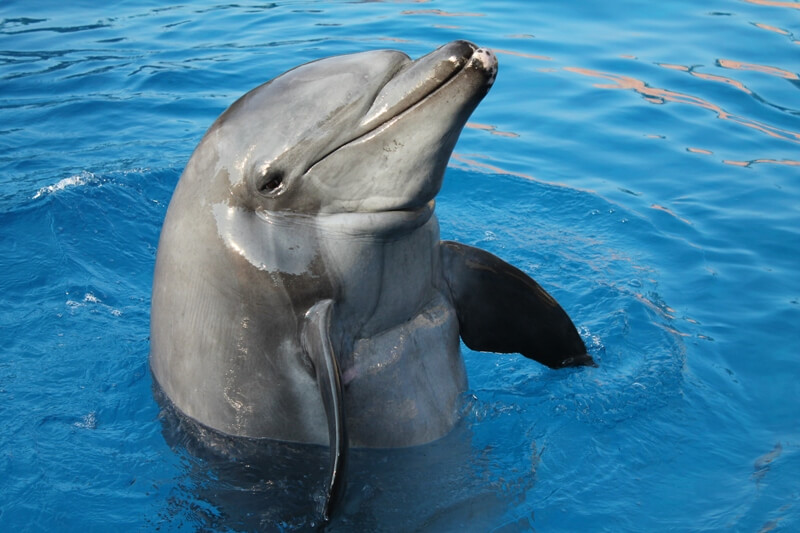 Gambit the Dolphin