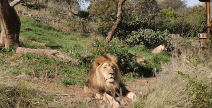 Pretoria Zoo Lion