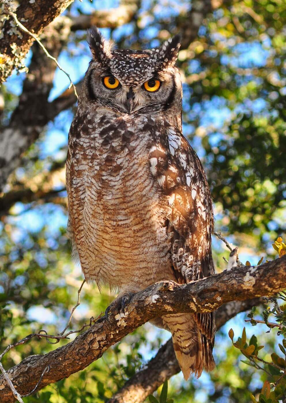 a spotted eagle owl