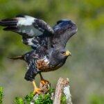 jackal buzzard KZN Midlands